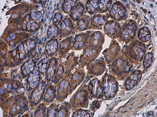 Immunohistochemistry (Formalin/PFA-fixed paraffin-embedded sections) - Anti-Calpain 2 antibody (ab227439)
