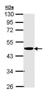 Western blot - Anti-CKMT2 antibody (ab227440)
