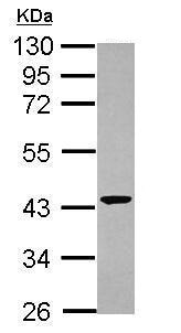 Western blot - Anti-CNPase antibody (ab227441)