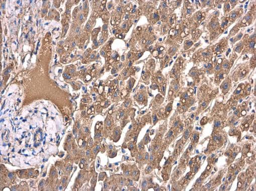 Immunohistochemistry (Formalin/PFA-fixed paraffin-embedded sections) - Anti-Apolipoprotein A I antibody (ab227455)