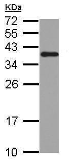 Western blot - Anti-hnRNP A2B1 antibody (ab227465)