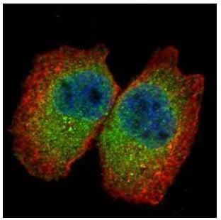 Immunocytochemistry/ Immunofluorescence - Anti-CLNS1A/CLCI antibody (ab227467)