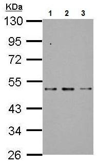 Western blot - Anti-SF3B4 antibody (ab227468)