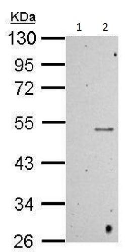 Western blot - Anti-p53 (mono methyl K372) antibody (ab227470)
