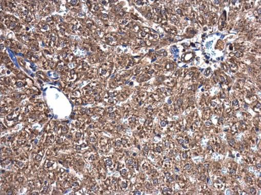 Immunohistochemistry (Formalin/PFA-fixed paraffin-embedded sections) - Anti-Visfatin antibody (ab227474)