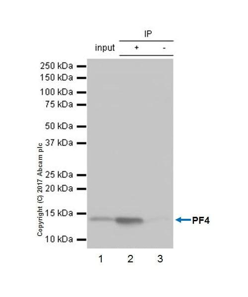 Immunoprecipitation - Anti-PF4 antibody [EPR17279-1] - BSA and Azide free (ab227485)