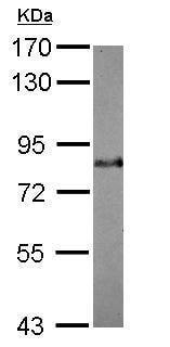 Western blot - Anti-Bag3 antibody (ab227493)