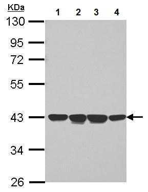 Western blot - Anti-p40-phox antibody (ab227495)