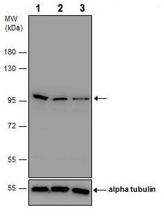 Western blot - Anti-beta Catenin antibody - ChIP Grade (ab227499)