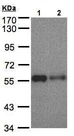 Western blot - Anti-SHP1 antibody (ab227503)