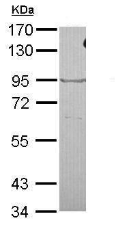 Western blot - Anti-OXR1 antibody - C-terminal (ab227511)