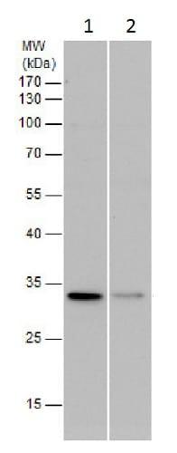 Western blot - Anti-PGAM5 antibody (ab227514)