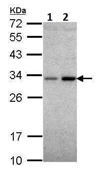Western blot - Anti-NQO1 antibody (ab227520)