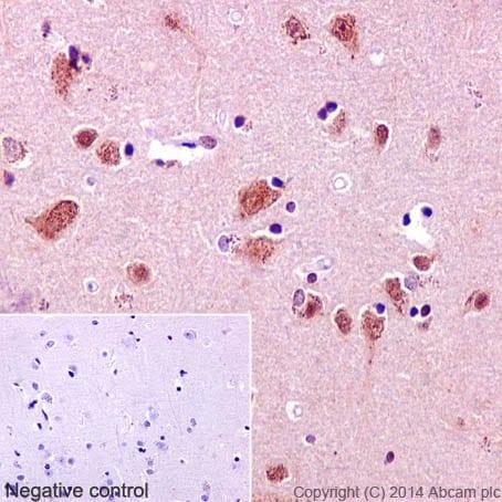 Immunohistochemistry (Formalin/PFA-fixed paraffin-embedded sections) - Anti-TRAF6 antibody [EP592Y] - BSA and Azide free (ab227560)