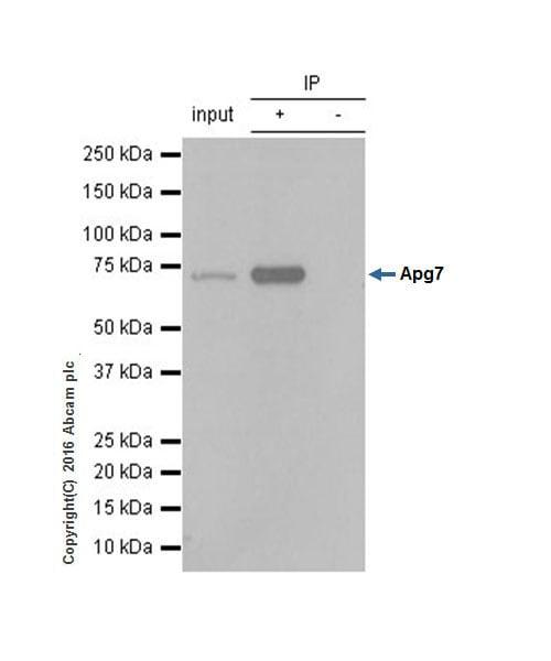 Immunoprecipitation - Anti-ATG7 antibody [EP1759Y] - BSA and Azide free (ab227564)