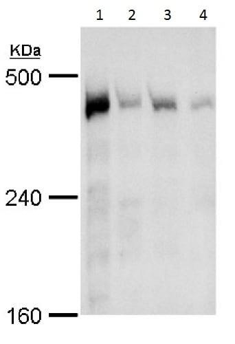 Western blot - Anti-TRRAP antibody (ab227590)
