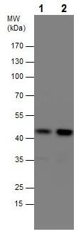 Western blot - Anti-SHARPIN antibody (ab227598)