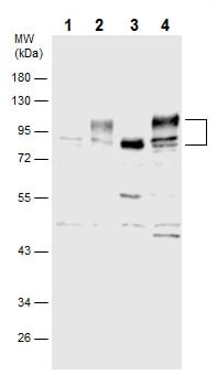 Western blot - Anti-CD166 antibody (ab227604)