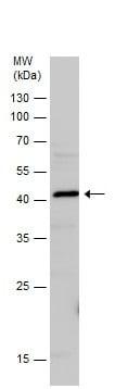 Western blot - Anti-CD200 / OX2 antibody (ab227612)