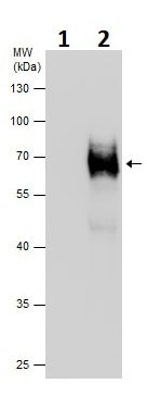 Immunoprecipitation - Anti-alpha Internexin antibody (ab227614)