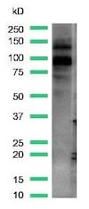 Western blot - Anti-KMT6 / EZH2 antibody [SP129] - C-terminal (ab227648)