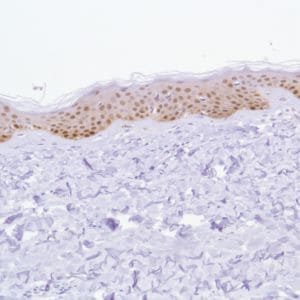 Immunohistochemistry (Formalin/PFA-fixed paraffin-embedded sections) - Anti-ALDH3A1 antibody [SP298] - C-terminal (ab227694)