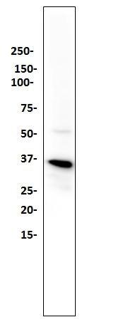 Western blot - Anti-TMEM173 antibody [SP339] (ab227705)