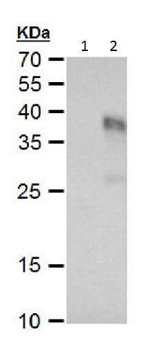 Western blot - Anti-TGF beta 3 antibody (ab227711)
