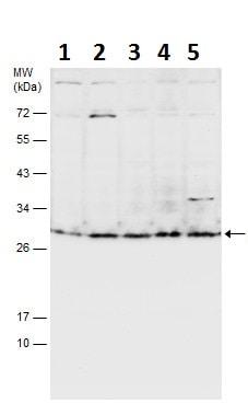 Western blot - Anti-Msx2/Hox8 antibody (ab227720)