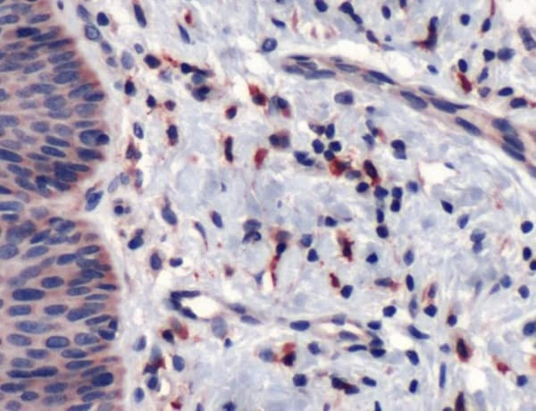 Immunohistochemistry (Formalin/PFA-fixed paraffin-embedded sections) - Anti-CD163 antibody (ab227781)