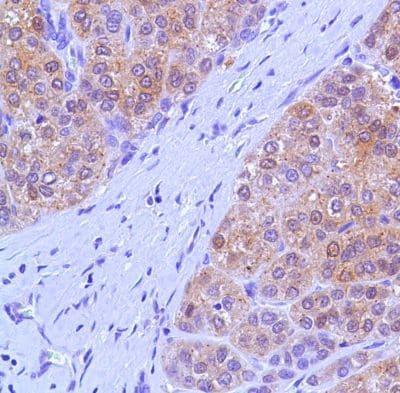 Immunohistochemistry (Formalin/PFA-fixed paraffin-embedded sections) - Anti-Liver Arginase antibody - N-terminal (ab227798)