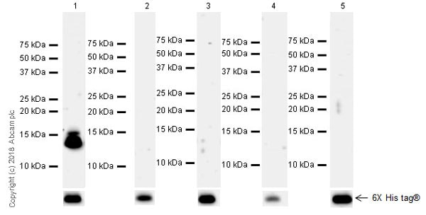 Western blot - Anti-Histone H4 (unmodified K20) antibody [EPR22116] (ab227804)