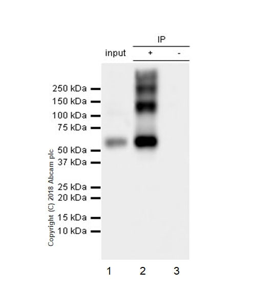 Immunoprecipitation - Anti-VGluT1 antibody [EPR22269] (ab227805)