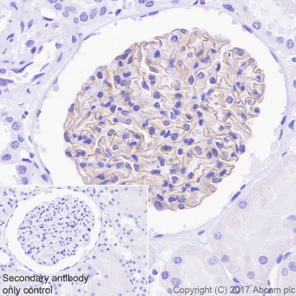 Immunohistochemistry (Formalin/PFA-fixed paraffin-embedded sections) - Anti-Nephrin antibody [EPR20993] - BSA and Azide free (ab227806)