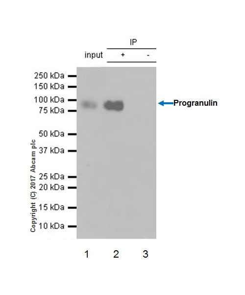 Immunoprecipitation - Anti-Granulin antibody [EPR18539-59] - BSA and Azide free (ab227816)