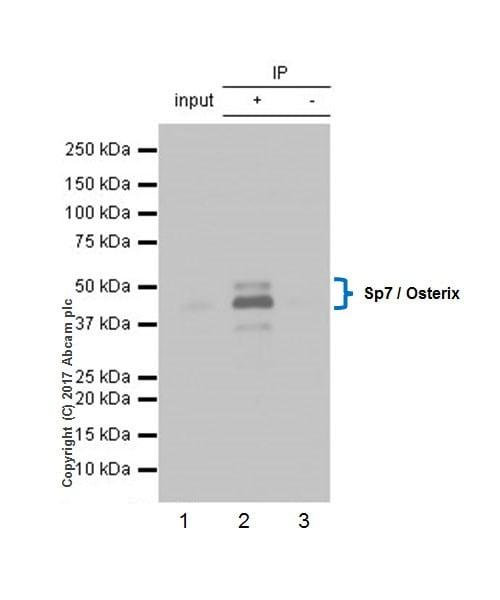 Immunoprecipitation - Anti-Sp7 / Osterix antibody [EPR21034] - BSA and Azide free (ab227820)