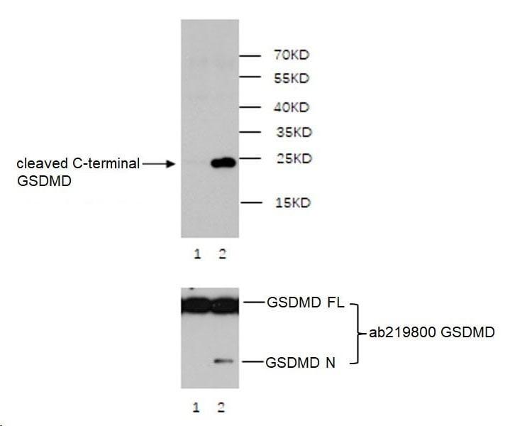 Western blot - Anti-cleaved C-terminal GSDMD antibody [EPR20885-203] (ab227821)