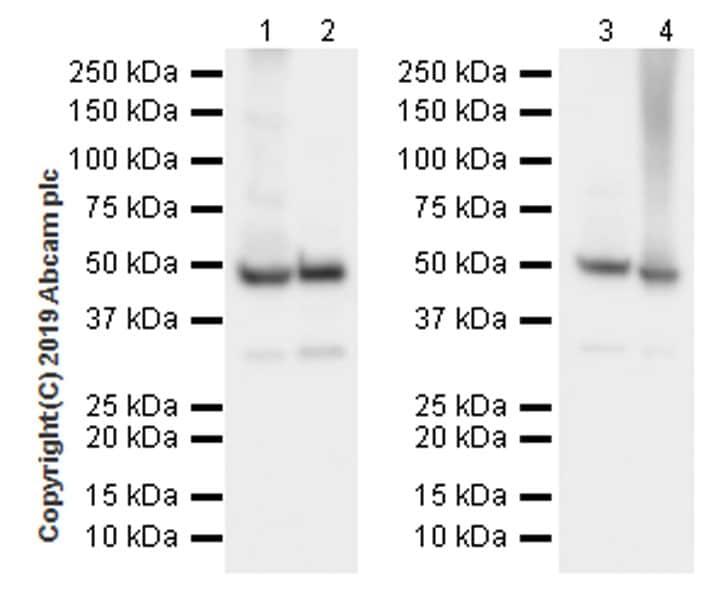 Western blot - Anti-EEF1A2 antibody [EPR22651-46] (ab227824)