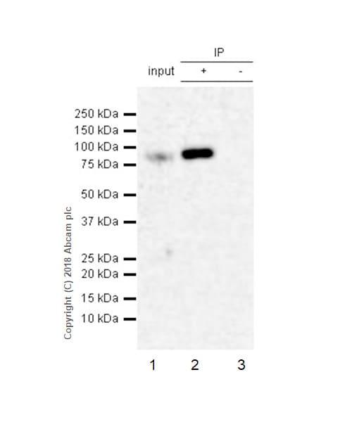 Immunoprecipitation - Anti-PDE10A antibody [EPR22383] (ab227829)