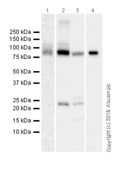 Western blot - Anti-PDE10A antibody [EPR22383] (ab227829)