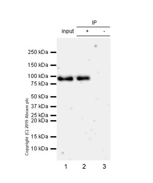 Immunoprecipitation - Anti-ATF6 antibody [EPR22690-84] (ab227830)