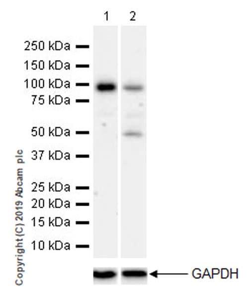 Western blot - Anti-ATF6 antibody [EPR22690-84] (ab227830)