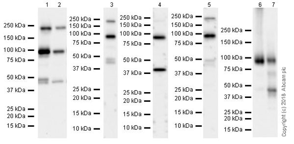 Western blot - Anti-Insulin Receptor beta antibody [EPR22167] (ab227831)