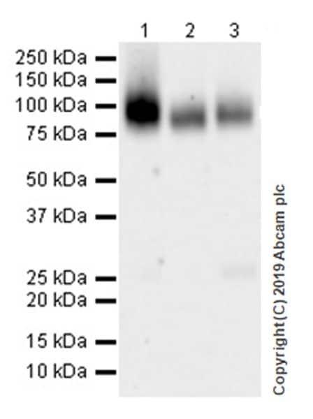 Western blot - Anti-CD39 antibody [EPR22507-48] (ab227840)