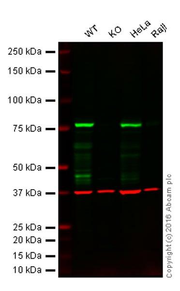 Western blot - Anti-RIP antibody [EPR4689-100] - BSA and Azide free (ab227843)