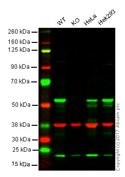 Western blot - Anti-Cyclin B1 antibody [EPR17060] - BSA and Azide free (ab227844)
