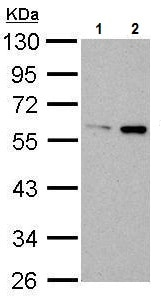 Western blot - Anti-ATG14L antibody (ab227849)