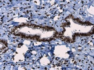 Immunohistochemistry (Formalin/PFA-fixed paraffin-embedded sections) - Anti-ATR (phospho T1989) antibody (ab227851)