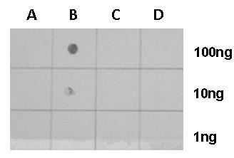 Dot Blot - Anti-Histone H4 (acetyl K8) antibody (ab227855)