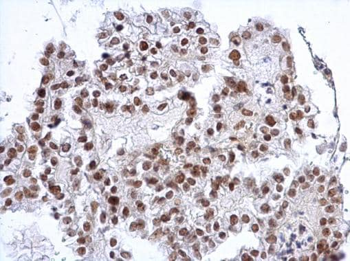 Immunohistochemistry (Formalin/PFA-fixed paraffin-embedded sections) - Anti-SP3 antibody - N-terminal (ab227856)